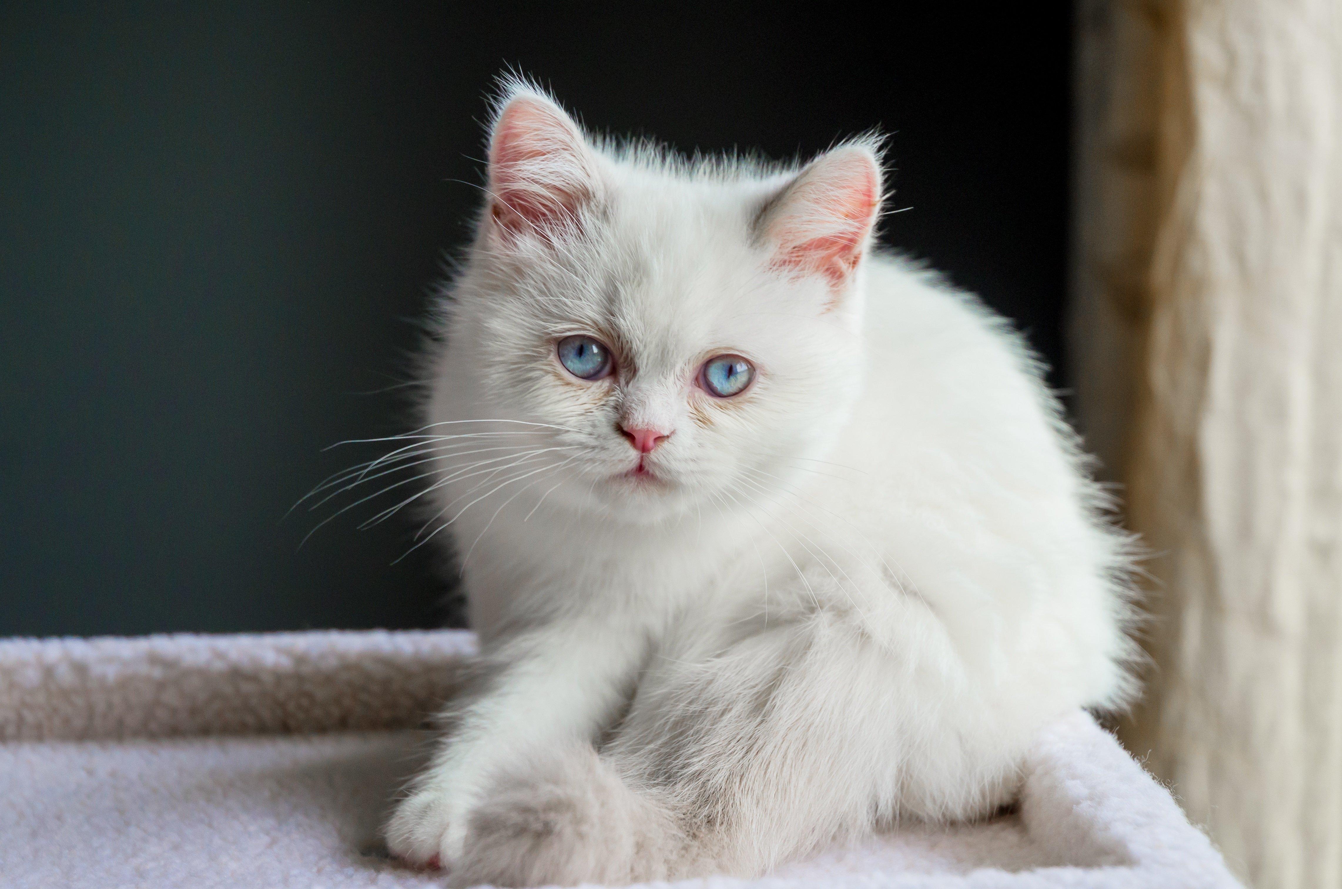Fotos de la raza de gato mixto Napoleón