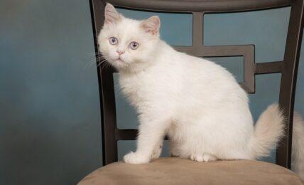 1609445417 Imagenes caracteristicas y hechos de la raza de gato mixto