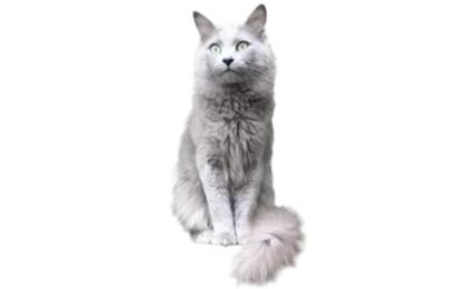 1609451489 Informacion imagenes caracteristicas y hechos de la raza de gato