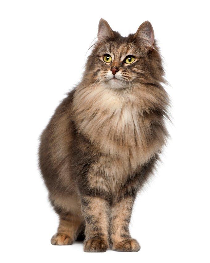 Gatos y gatitos del bosque noruego