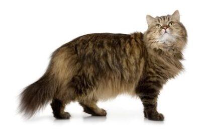 1609456730 Informacion imagenes caracteristicas y hechos de la raza de gato