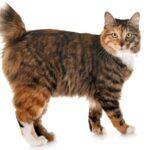 Imagenes caracteristicas y hechos de la raza de gato Kurilian