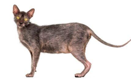 Imagenes caracteristicas y hechos de la raza de gato Lykoi