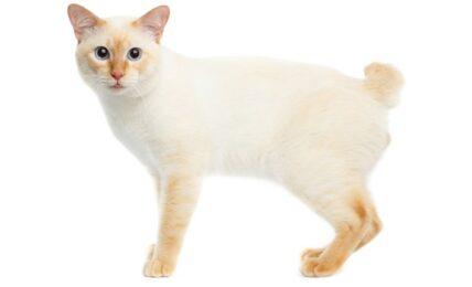 Imagenes caracteristicas y hechos de la raza de gato Mekong