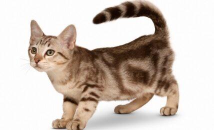 Imagenes caracteristicas y hechos de la raza de gato australiano
