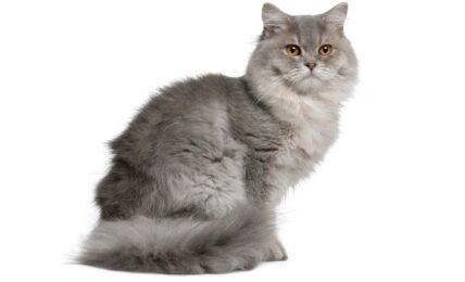 Imagenes caracteristicas y hechos de la raza de gato britanico