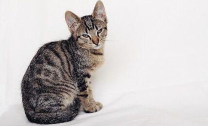 Imagenes caracteristicas y hechos de la raza de gato europeo