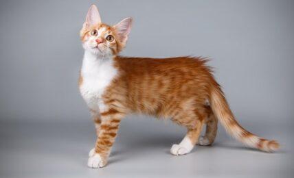 Imagenes caracteristicas y hechos de la raza de gato gigante