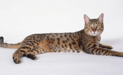 Imagenes caracteristicas y hechos de la raza mixta de gatos