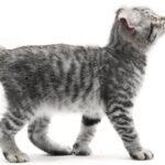 Imagenes caracteristicas y hechos de razas mixtas de gatos Highlander