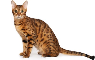 Informacion imagenes comportamiento y cuidados de la raza de gato