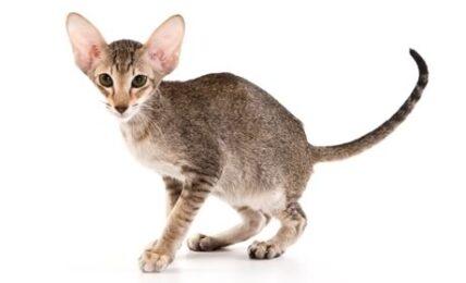1609468244 Informacion imagenes caracteristicas y hechos de la raza de gato
