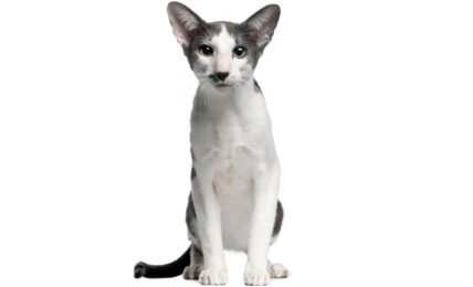1609476732 Imagenes caracteristicas y hechos de razas mixtas de gatos orientales
