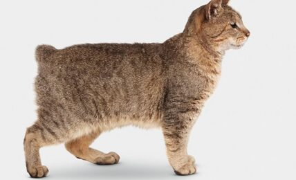 1609492021 Informacion imagenes caracteristicas y hechos de la raza de gato
