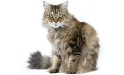 1609497803 153 Informacion imagenes caracteristicas y hechos de la raza de gato