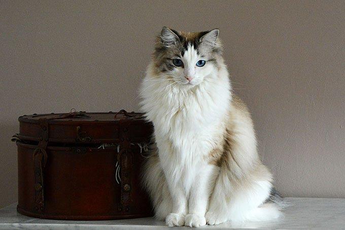 Gatos y gatitos ragdoll