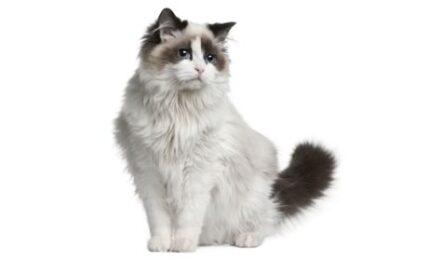 1609503415 Informacion imagenes caracteristicas y hechos de la raza de gato