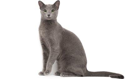 1609509347 814 Informacion imagenes caracteristicas y hechos de la raza de gato