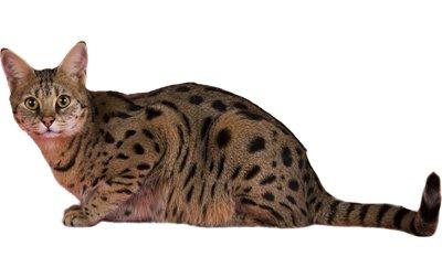 1609517325 392 Informacion imagenes caracteristicas y hechos de la raza de gato