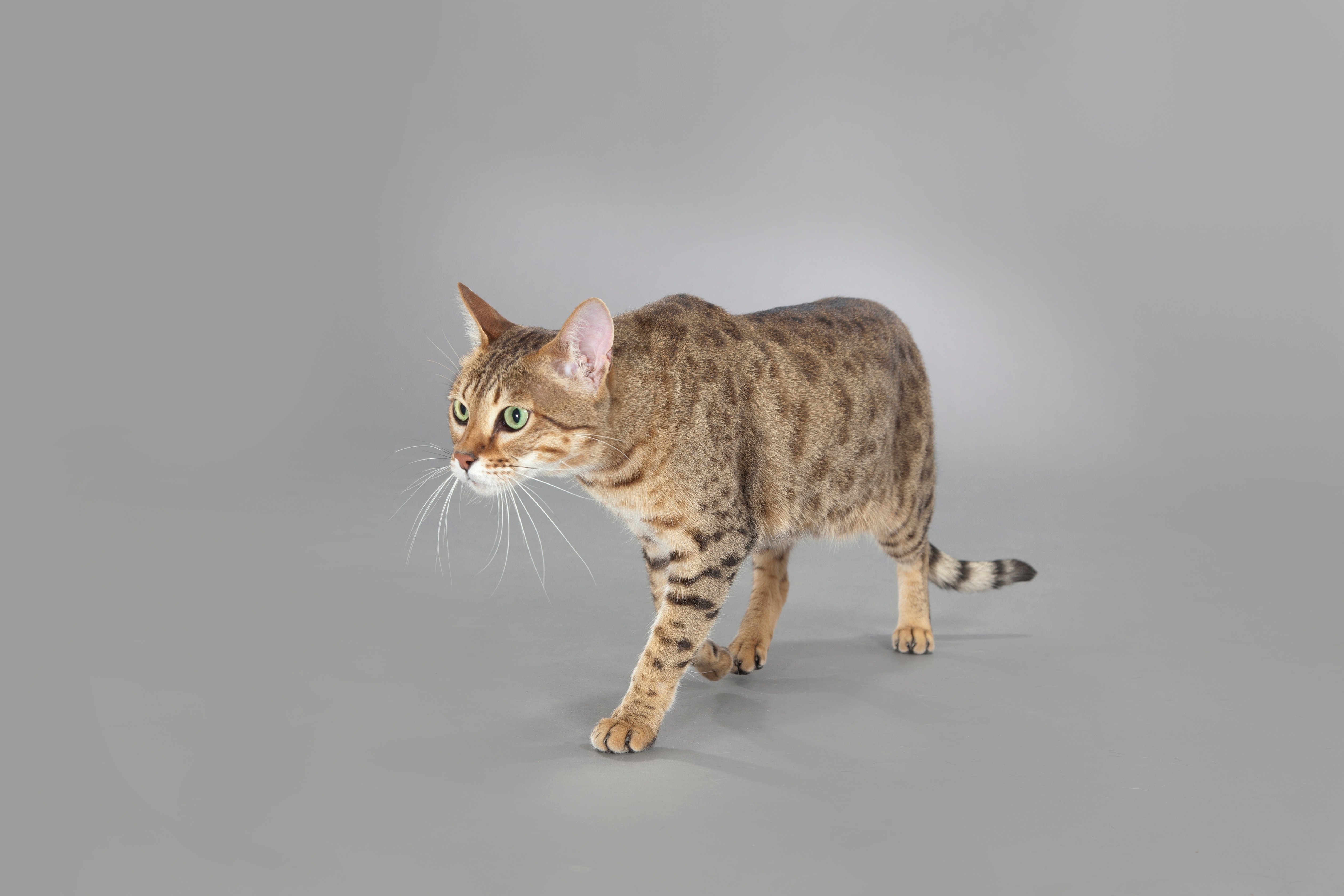 Fotos de Savannah Cat Breed