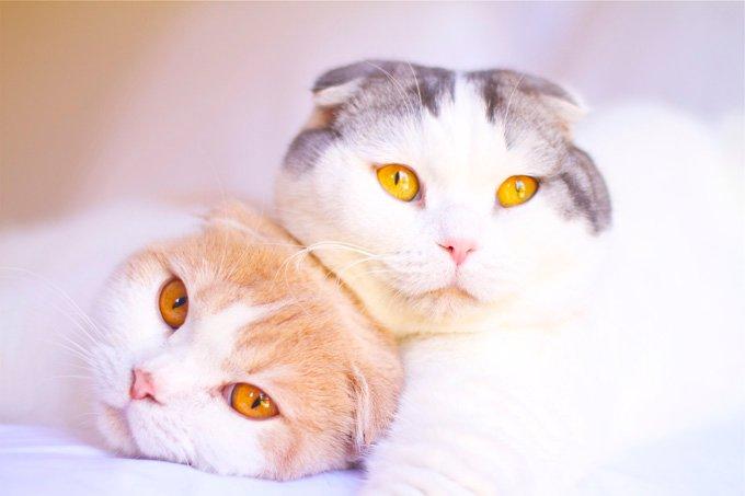 Gatos y gatitos Scottish Fold