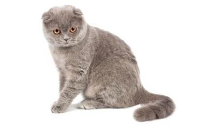 1609523061 Informacion imagenes caracteristicas y hechos de la raza de gato