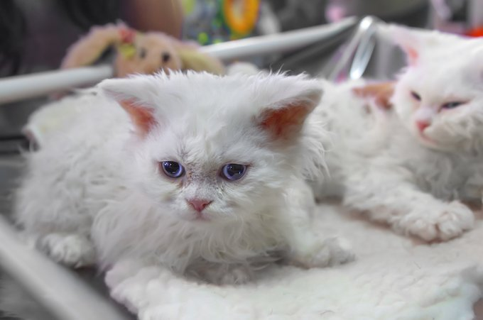 Gatos y gatitos Selkirk