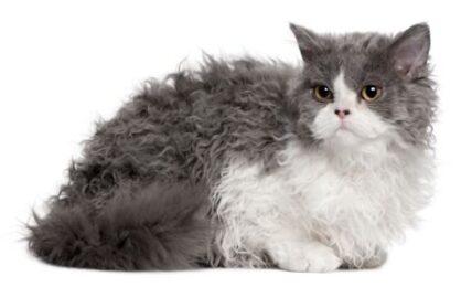 1609528812 Informacion imagenes caracteristicas y hechos de la raza de gato