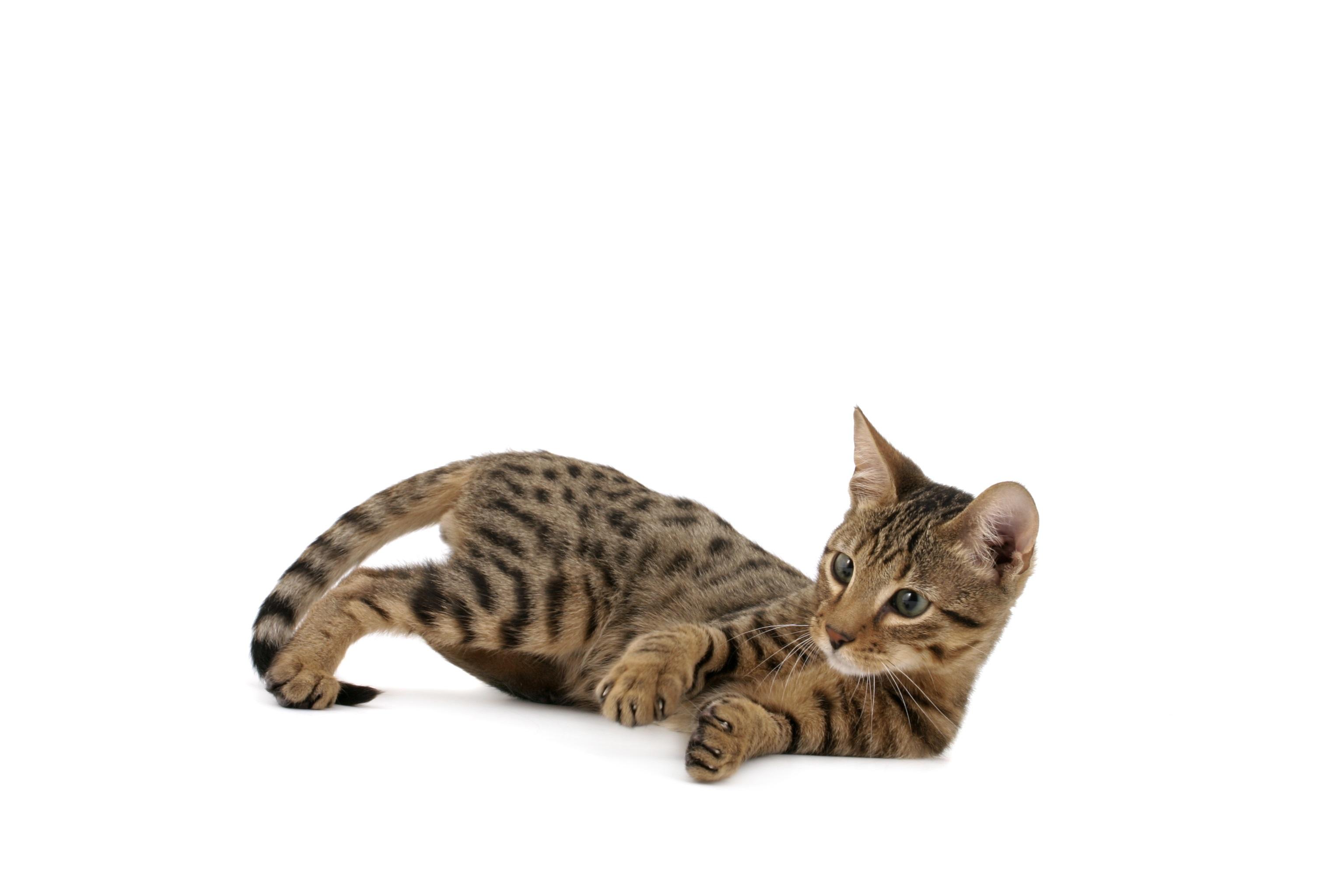 Fotos de la raza mixta de gatos Serengeti