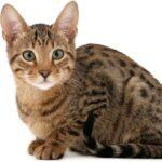1609536306 Imagenes caracteristicas y hechos de la raza mixta de gato
