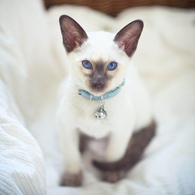 Fotos de razas de gatos siameses