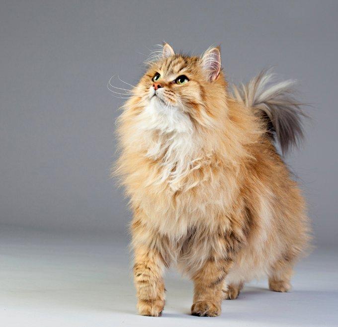 Gatos y gatitos siberianos