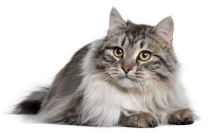1609548367 Informacion imagenes caracteristicas y hechos de la raza de gato