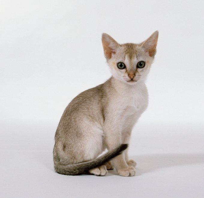 Gatos y gatitos de Singapura
