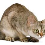 1609553853 Informacion imagenes caracteristicas y hechos de la raza de gato