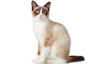 1609559159 288 Informacion imagenes caracteristicas y hechos de la raza de gato