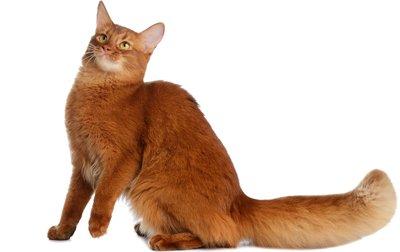 1609570508 136 Informacion imagenes caracteristicas y hechos de la raza de gato