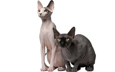 1609575477 Informacion imagenes caracteristicas y hechos de la raza de gato