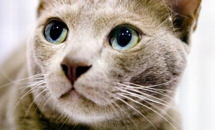 1609587077 Imagenes caracteristicas y hechos de la raza de gato Thai