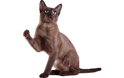 1609592573 243 Informacion imagenes caracteristicas y hechos de la raza de gato