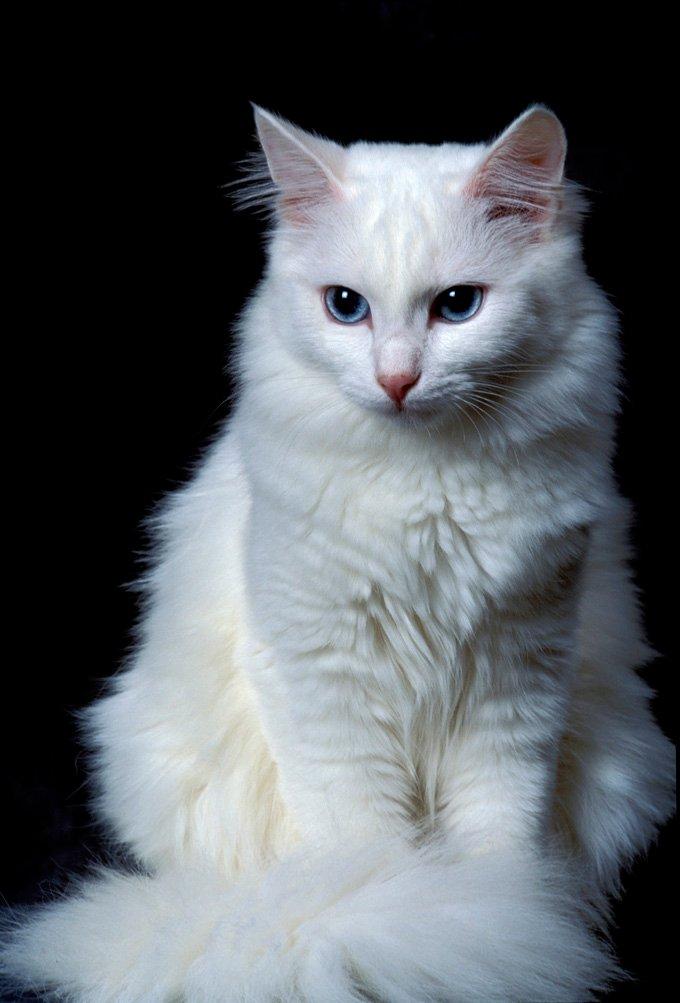 Gatos y gatitos de angora turco