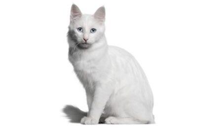 1609605569 Informacion imagenes caracteristicas y hechos de la raza de gato