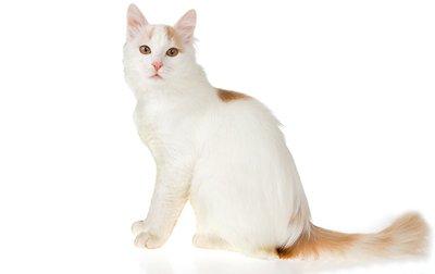 1609611080 182 Informacion imagenes caracteristicas y hechos de la raza de gato