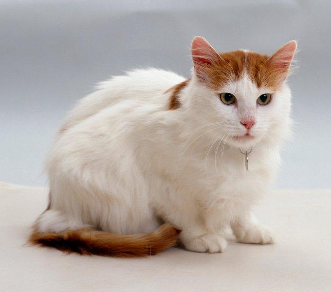 Gatitos y gatos turcos