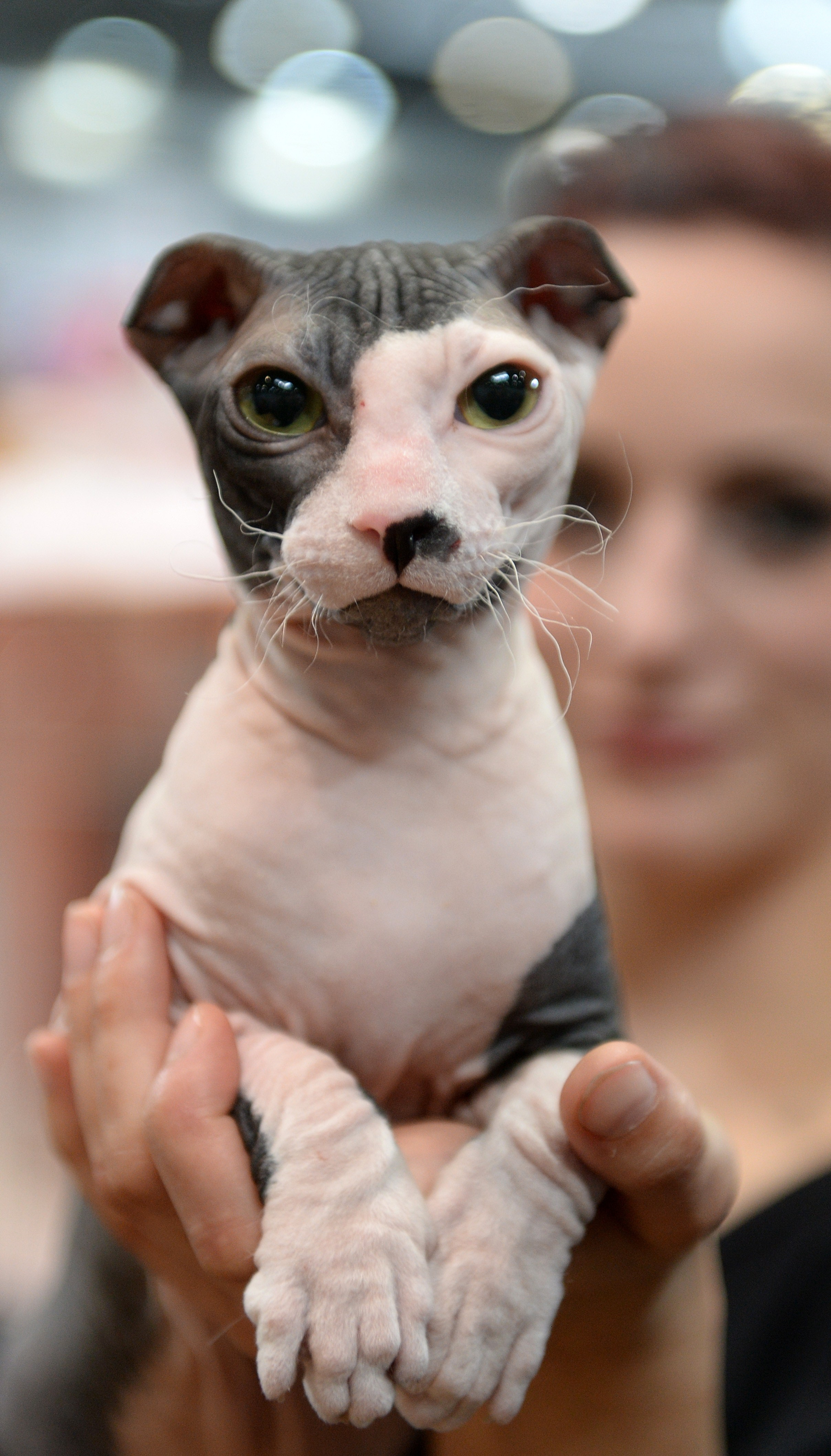 Fotos de raza de gato Levkoy ucraniano