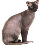 1609616596 Imagenes caracteristicas y hechos de la raza mixta de gato