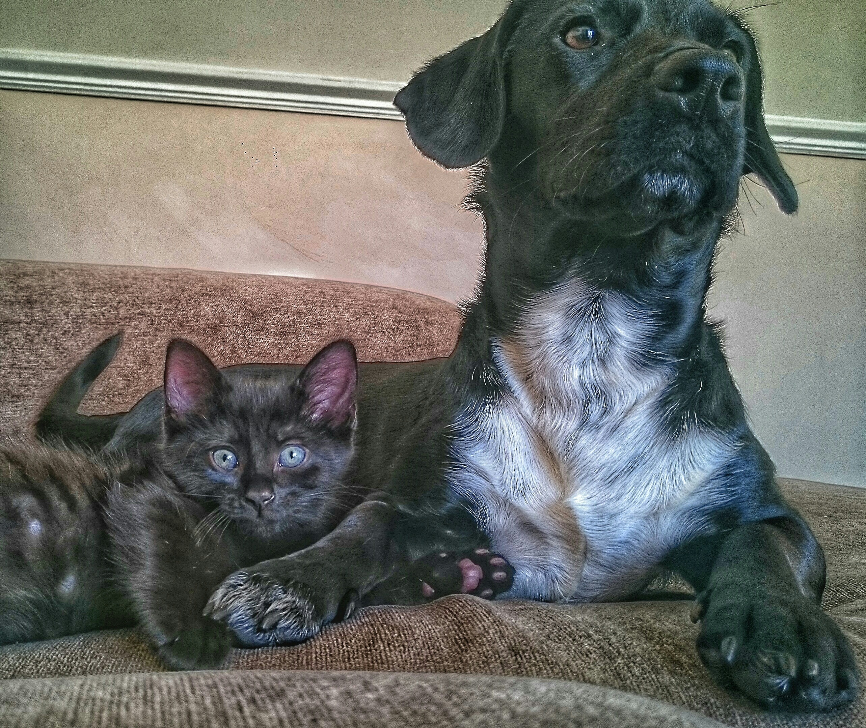 Retrato de York chocolate cat con perro negro en la cama