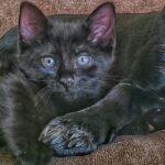 1609621609 Imagenes caracteristicas y hechos de la raza de gato York
