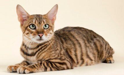 Imagenes caracteristicas y hechos de la raza de gato mixto
