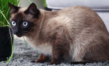 Imagenes caracteristicas y hechos de la raza de gato tailandes